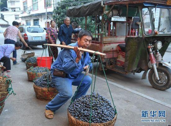9月15日,在福建省宁德福安市穆云畲族乡溪塔村,村民运送收获的刺葡萄。新华社记者 宋为伟 摄