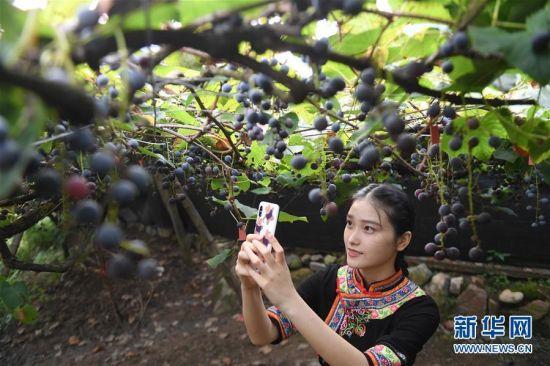 9月15日,在福建省宁德福安市穆云畲族乡溪塔村葡萄沟,一名姑娘身着畲族服饰在拍摄成熟的刺葡萄。新华社记者 宋为伟 摄
