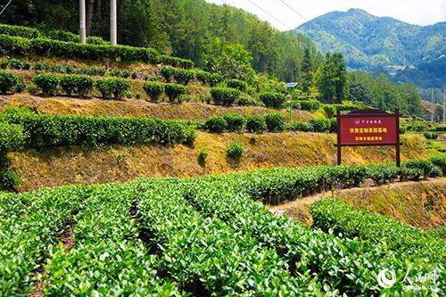 下党乡开创全国第一个可视化扶贫定制茶园模式。人民网 焦艳 摄