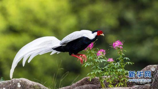 10月14日,在南靖县鹅仙洞国家级自然保护区,一只白鹇飞跃而起。