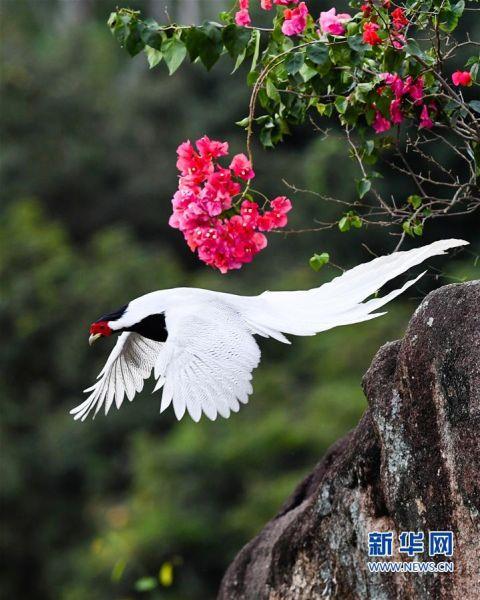 10月14日,在南靖县鹅仙洞国家级自然保护区,一只白鹇从岩石上飞跃而起。新华社记者 彭张青 摄