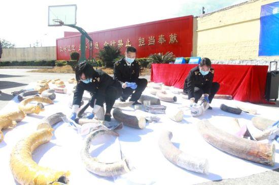 福州海关工作人员对猛犸象牙化石进行保护性包扎。福州海关供图