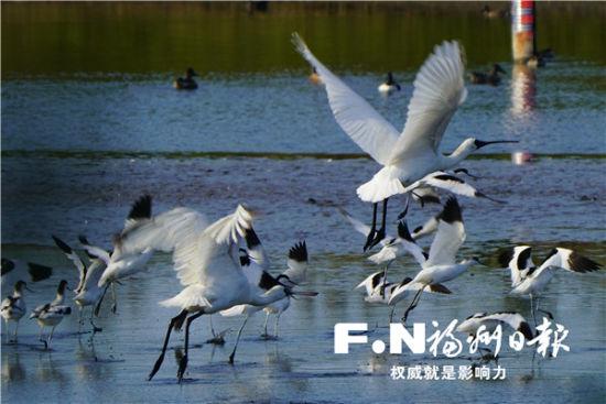 闽江河口湿地内的候鸟。郑航 摄