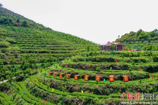 眼下正是安溪铁观音春茶采摘、生产的黄金时节。