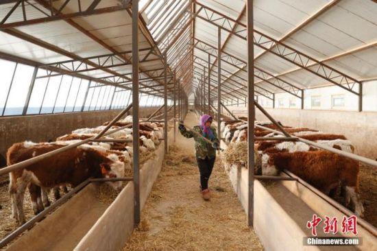 资料图:工作人员在牛羊交易市场的牛寄养棚内喂牛。中新社记者 韩海丹 摄
