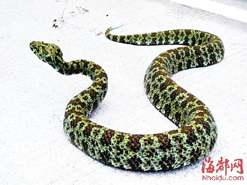 不少蛇冬眠前,爱出来补补体-入冬在即福州多人被毒蛇咬伤 蛇医支招
