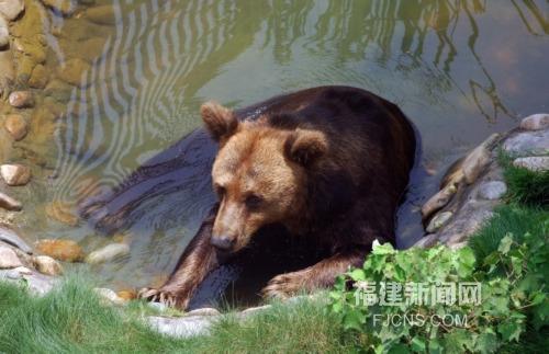 福州动物园里的熊正在树荫下的水池