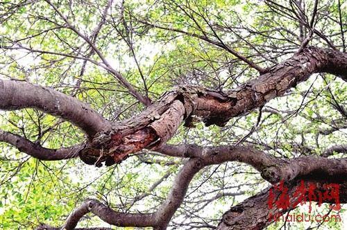 那古榕树树枝上的叶子非常