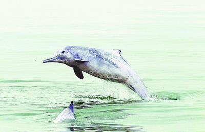 厦门海域中华白海豚活动频繁