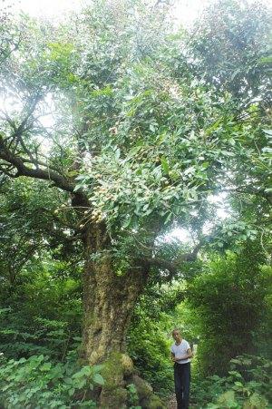 树干中空,树皮结瘤,但茎围粗壮,树势刚健,枝繁叶茂,树上龙眼硕果累累