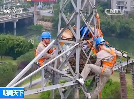 福建宁德:喜鹊筑巢输电塔 电力工人帮挪窝