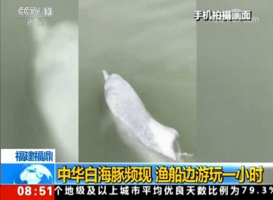 澳门正规赌博网站大全福鼎:中华白海豚频现 渔船边游玩一小时