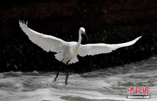 组图:鹭岛厦门白鹭纷飞