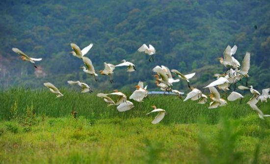 罗源湾生态环境持续改善 使这里成为鸟类乐园