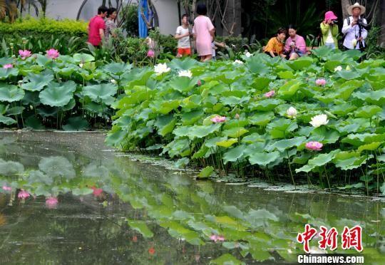福州茶亭公园现罕见并蒂莲