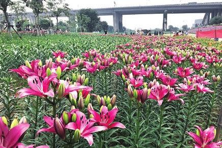 福州:花海公园七彩百合将进入盛花期