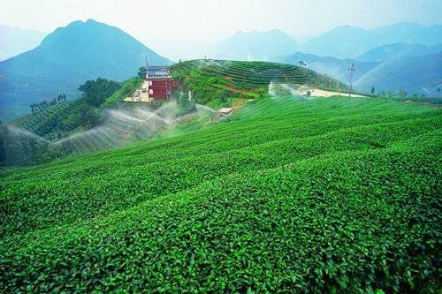 漳州规模茶企已超20家