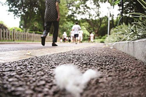泉州市区木棉絮过敏多发 将不再种为行道树