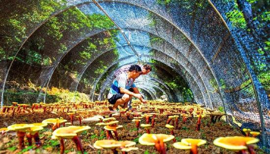 福建永春县岵山镇:林下经济风生水起