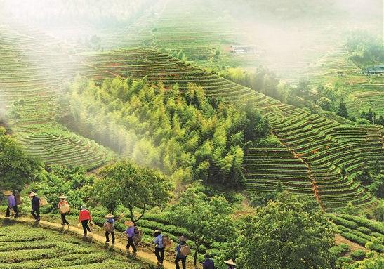 安溪铁观音:从输出茶叶到输出茶文化