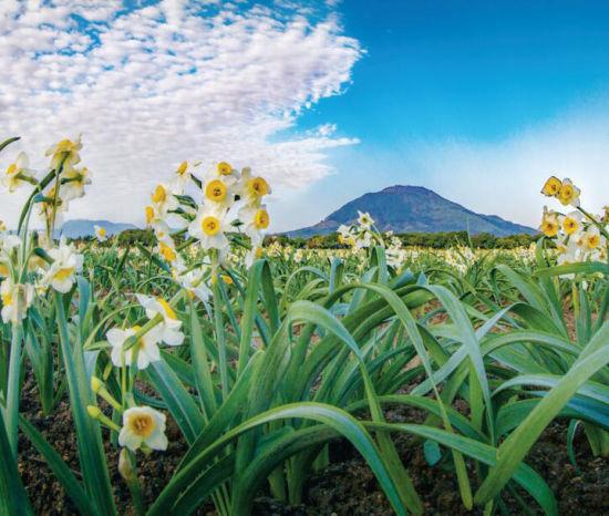 漳州水仙花的一带一路