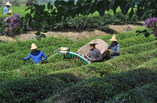 建瓯:暑天机械采茶忙