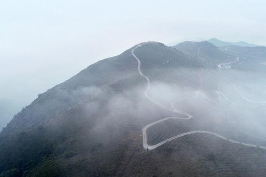 """泉州:晨雾""""盘""""茶山"""
