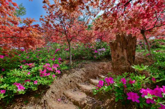 澳门真人博彩娱乐官网:快乐园内有春色 枫叶映红四月天